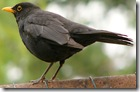 Blackbird_side