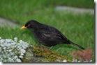 blackbird-free