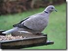 collared-dove-free
