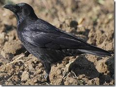 crowww