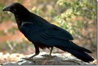 raven-free